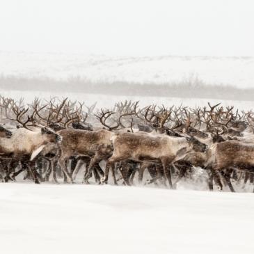 Reindeer Crossing Inuvik